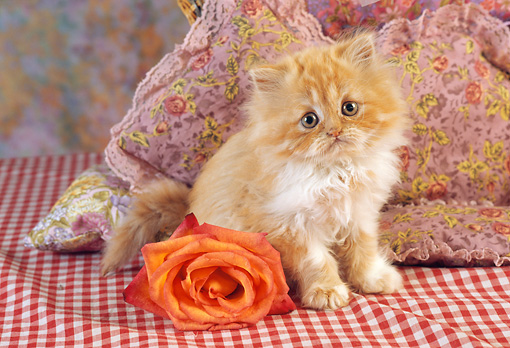 CAT 03 RC0121 01 © Kimball Stock Orange Tabby Persian Kitten Sitting On Red And White Checkered Cloth By Rose