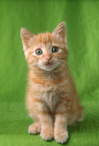 CAT 03 RC0122 01 © Kimball Stock Orange Tabby Kitten Sitting On Green Cloth Studio