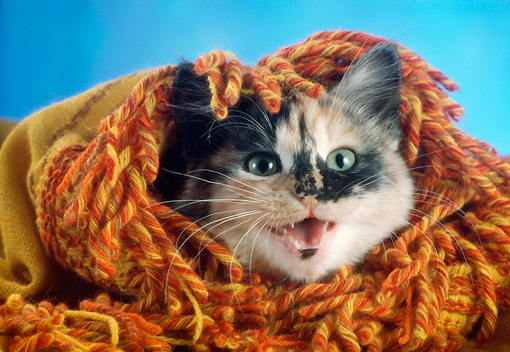 CAT 03 RC0124 01 © Kimball Stock Close-Up Of Calico Kitten Wrapped In Orange Blanket Studio