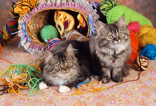 CAT 03 RC0126 01 © Kimball Stock Two Gray Tabby Kittens Sitting By Colorful Yarn