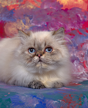 CAT 03 RK0010 06 © Kimball Stock Himalayan Blue Point Kitten Laying Studio