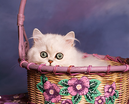 CAT 03 RK0042 03 © Kimball Stock Persian Chinchilla Kitten Laying In Basket Studio