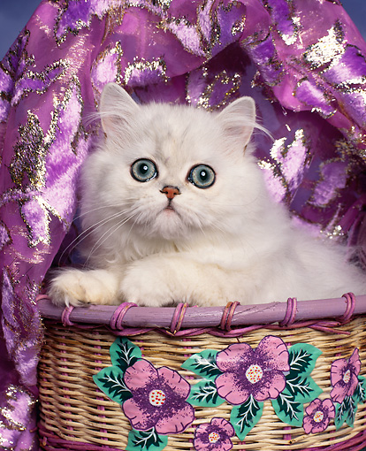 CAT 03 RK0044 01 © Kimball Stock Head Shot Of Persian Chinchilla Kitten In Basket