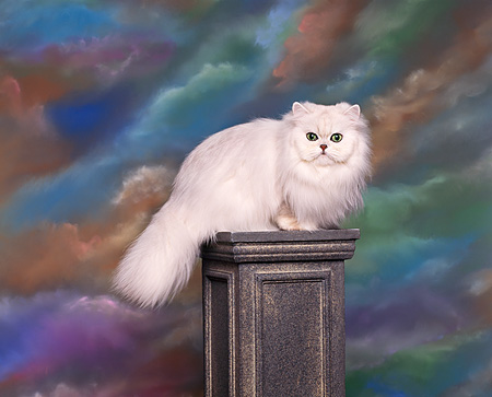 CAT 03 RK0050 06 © Kimball Stock Persian Chinchilla Kitten  Sitting On Pedestal Studio