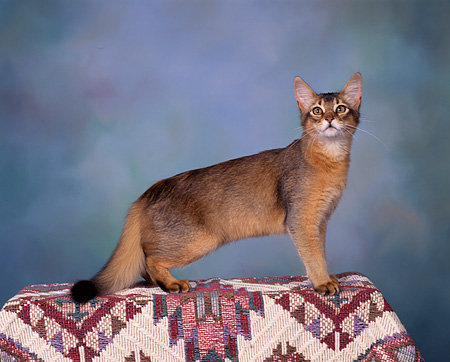 CAT 03 RK0092 04 © Kimball Stock Somali  Ruddy Kitten Standing Studio
