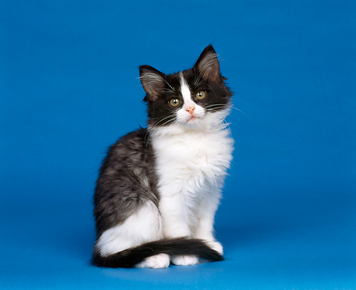 CAT 03 RK0124 04 © Kimball Stock Black And White Kitten Sitting On Blue Seamless Studio