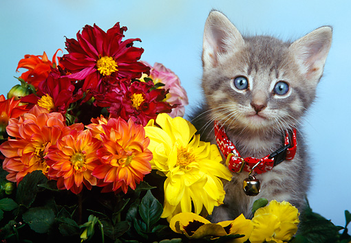 CAT 03 RK0161 08 © Kimball Stock Cute Gray Kitten Sitting In Flower Arrangement  Facing Camera Blue Background