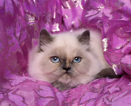 CAT 03 RK0238 04 © Kimball Stock Blue Cream Point Himalayan Laying Studio