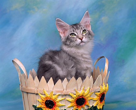 CAT 03 RK0240 01 © Kimball Stock Maine Coon Silver Patched Tabby Kitten Sitting In Flower Basket Studio