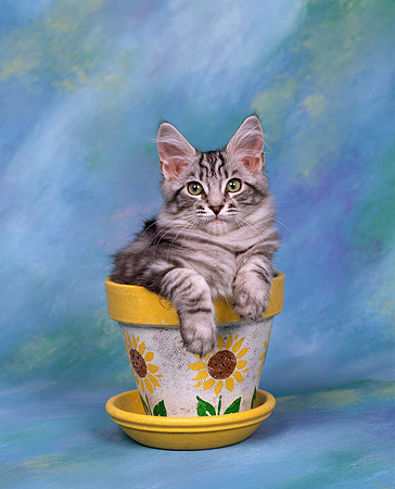 CAT 03 RK0243 01 © Kimball Stock Head Shot Of Silver Patched Tabby Maine Coon Kitten Sitting In Flower Pot Studio