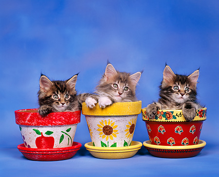 CAT 03 RK0248 06 © Kimball Stock Maine Coon Kittens Sitting In Flower Pots Studio