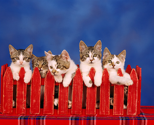 CAT 03 RK0257 04 © Kimball Stock Tabby Kittens All Peeking Over Red Fence