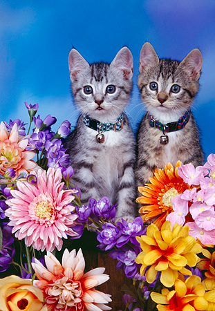 CAT 03 RK0339 04 © Kimball Stock Tabby Kittens Sitting Together By Flowers