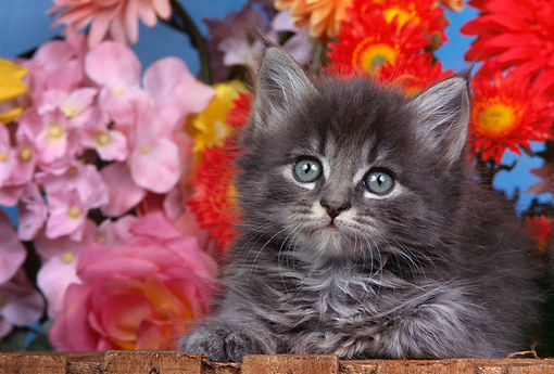 CAT 03 RK0343 12 © Kimball Stock Head Shot Of Maine Coon Silver Tabby Kitten Laying By Flowers Studio