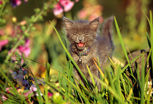 CAT 03 RK0395 01 © Kimball Stock Gray Kitten Meowing In Grass