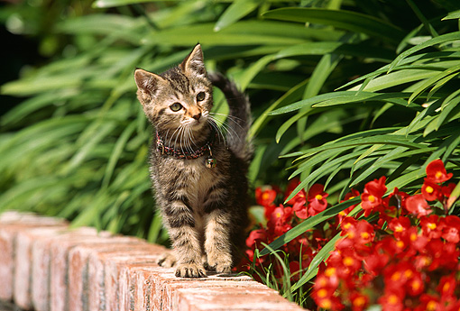CAT 03 RK0442 02 © Kimball Stock Tabby Kitten Standing On Brick Wall