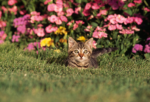 CAT 03 RK0443 01 © Kimball Stock Tabby Kitten Laying On Grass By Flowers