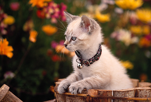 CAT 03 RK0452 03 © Kimball Stock Kitten Sitting In Wooden Planter By Flowers