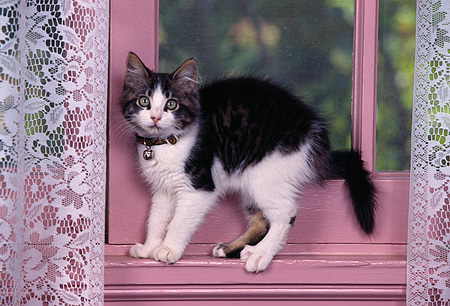 CAT 03 RK0470 03 © Kimball Stock Black And White Kitten Standing By Window