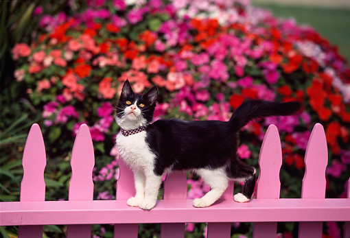 CAT 03 RK0487 11 © Kimball Stock Black And White Kitten Walking Across Pink Fence By Flowers