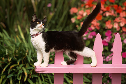 CAT 03 RK0487 23 © Kimball Stock Black And White Kitten Walking Across Pink Fence By Flowers