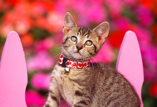 CAT 03 RK0489 04 © Kimball Stock Head Shot Of Tabby Kitten Sitting On Pink Fence
