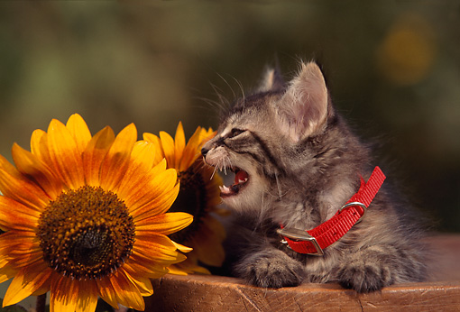 CAT 03 RK0543 03 © Kimball Stock Gray Tabby Kitten Laying On Wooden Bench By Sunflower