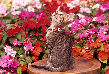 CAT 03 RK0550 02 © Kimball Stock Gray Tabby Kitten Sitting On Wooden Stool By Flowers