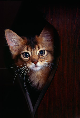 CAT 03 RK0579 10 © Kimball Stock Head Shot Of Somali Kitten Peeking Behind Table
