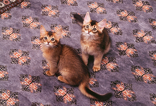 CAT 03 RK0588 04 © Kimball Stock Somali Kittens Sitting On Blue Rug