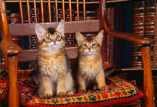 CAT 03 RK0595 02 © Kimball Stock Somali Kittens Sitting On Wooden Chair