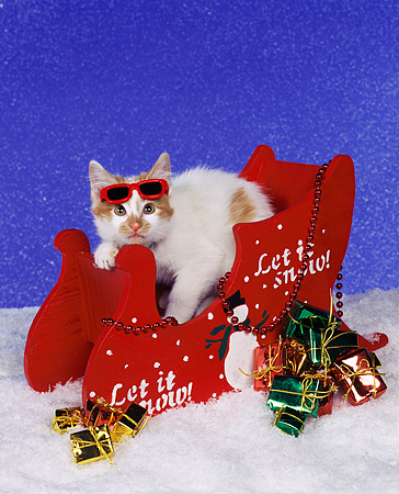 CAT 03 RK0624 01 © Kimball Stock Red And White Kitten Laying In Red Sleigh