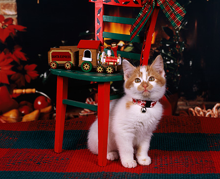 CAT 03 RK0631 03 © Kimball Stock Red And White Kitten Sitting By Christmas Decorations