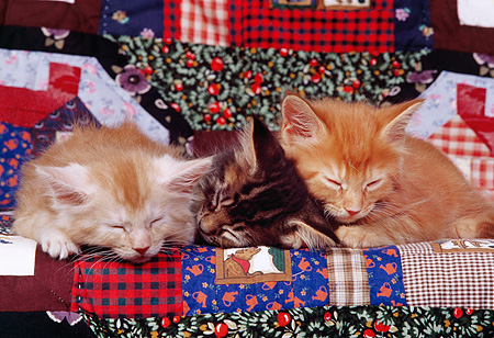 CAT 03 RK0647 01 © Kimball Stock A Group Of Kittens Sleeping On Quilt