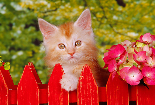 CAT 03 RK0649 10 © Kimball Stock Head Shot Of Orange And White Kitten Peeking Over Red Fence By Flowers