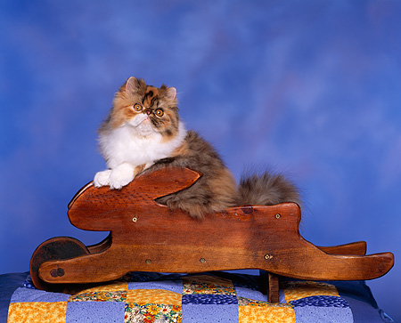 CAT 03 RK0675 03 © Kimball Stock Persian Calico Kitten Sitting In Rabbit Wheelbarrow Studio