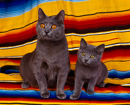 CAT 03 RK0692 07 © Kimball Stock Chartreux Cat and Kitten Laying Together On  Blanket
