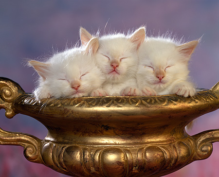 CAT 03 RK0706 03 © Kimball Stock Head Shot Of Sleeping Kittens In Gold Bowl