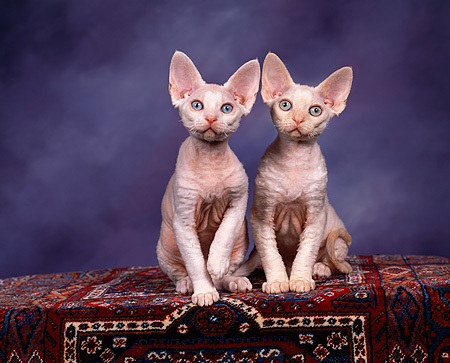 CAT 03 RK0735 02 © Kimball Stock Devon Rex Kittens Sitting On Carpet Studio