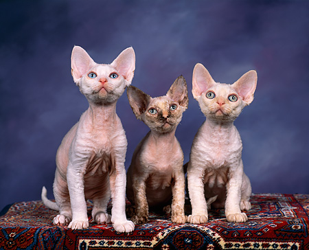 CAT 03 RK0736 01 © Kimball Stock Devon Rex Kittens Sitting Together On Carpet