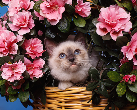 CAT 03 RK0760 08 © Kimball Stock Head Shot Of Birman Blue Point Kitten Sitting In Basket Of Pink Flowers