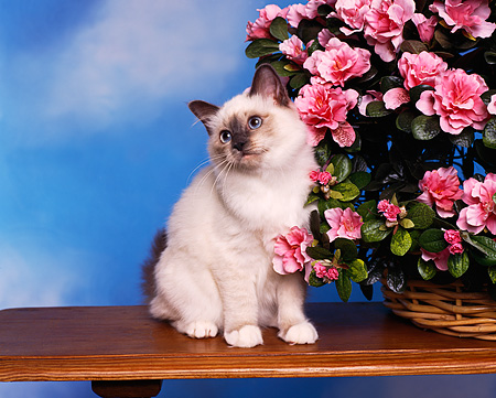 CAT 03 RK0761 01 © Kimball Stock Birman Blue Point Kitten Sitting On Table Next To Basket Of Pink Flowers
