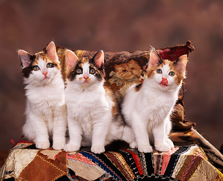 CAT 03 RK0766 03 © Kimball Stock Calico Kittens Sitting On Quilt