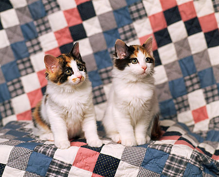 CAT 03 RK0778 03 © Kimball Stock Two Calico Kittens Sitting Together On Diamond Quilt