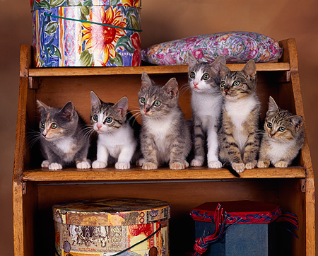 CAT 03 RK0781 08 © Kimball Stock Group Of Kittens Sitting On Shelf