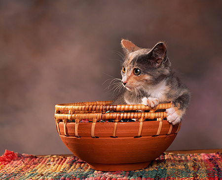 CAT 03 RK0786 05 © Kimball Stock Calico Kitten Sitting In Basket Bowl Brown Mottled Background