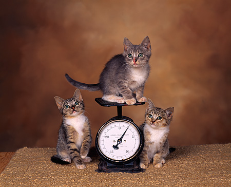 CAT 03 RK0806 01 © Kimball Stock Three Kittens Sitting On And Around Scale Brown Mottled Background