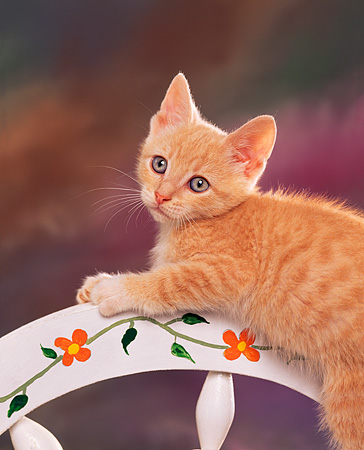CAT 03 RK0824 02 © Kimball Stock Orange Kitten Laying On Wheelbarrow Wheel Colorful Background