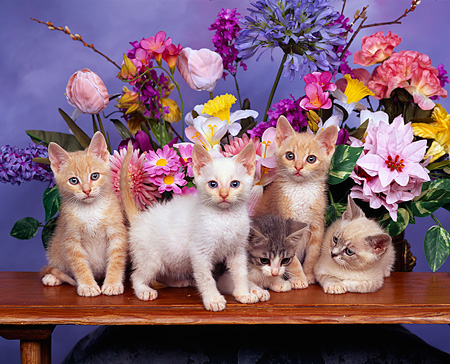 CAT 03 RK0829 01 © Kimball Stock Group Of Kittens Sitting Together By Flowers