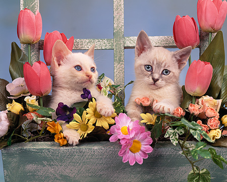 CAT 03 RK0842 03 © Kimball Stock Kittens Sitting Together In Planter Box With Flowers Studio
